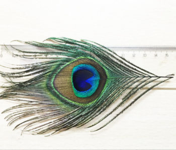 peacock feathers supply from Thailand